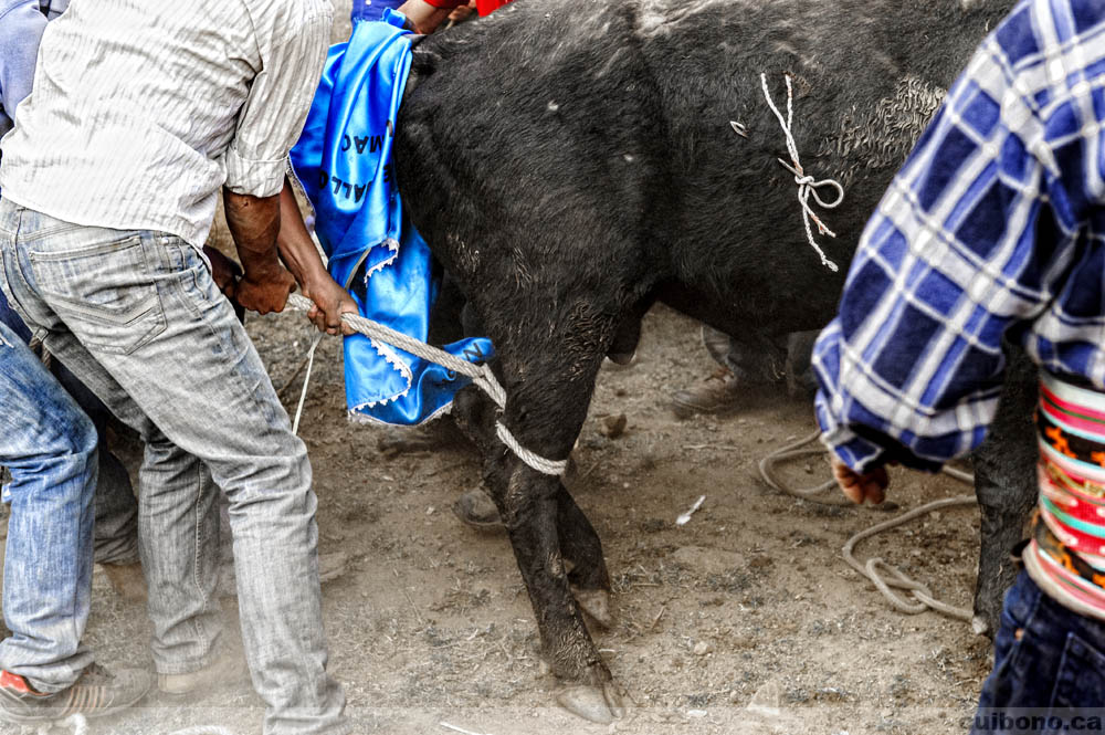 The bull is restrained, note the rope on its side